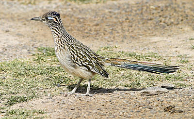 Photograph - Roadrunner by Gregory Scott
