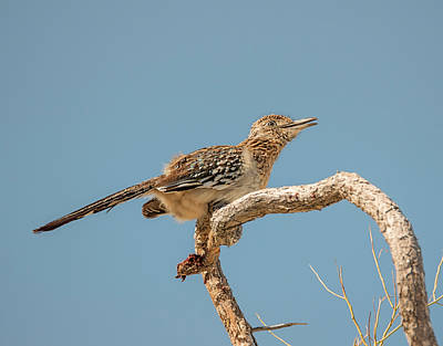 Photograph - Roadrunner In A Tree by Loree Johnson