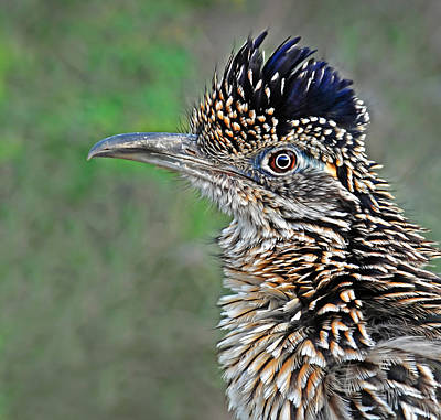 Roadrunner Portrait Art Print by Dave Mills