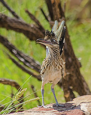 Photograph - Roadrunner - Youngster by Allen Sheffield