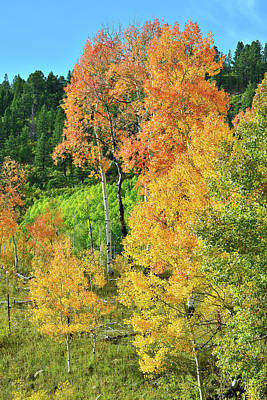 Photograph - Roadside Aspens Along Highway 62  by Ray Mathis