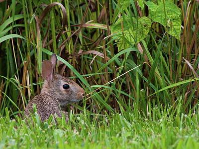 Photograph - Roadside Rabbit by Virginia Folkman