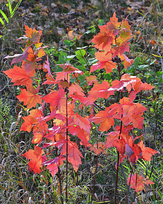 Photograph - Roadside Red Maple by Ray Mathis
