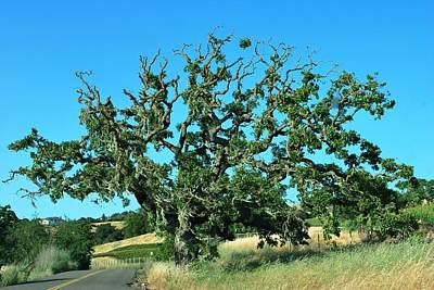 Photograph - California Roadside Tree by Matt Harang