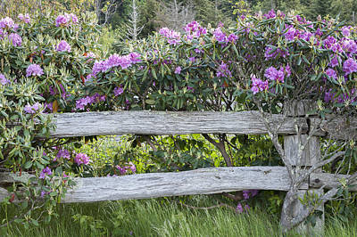 Photograph - Roan Mountain Azaleas by Tyson and Kathy Smith