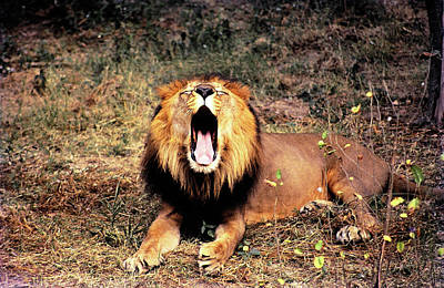 Photograph - Roar Of Asitic Lion  by Manjot Singh Sachdeva
