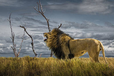 Photograph - Roaring African Lion In The Grass by Randall Nyhof