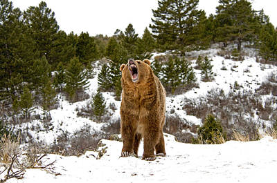 Roaring Grizzly In Winter Art Print