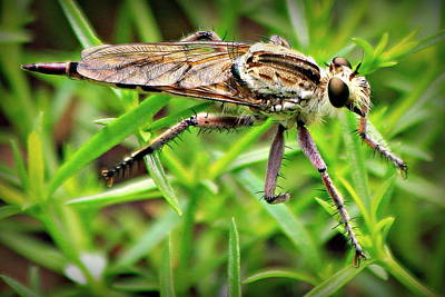 Photograph - Robber Fly Catch Me If You Can Art by Reid Callaway