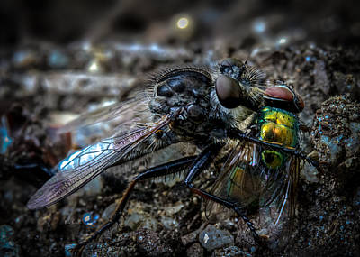 Macro Dragonfly Photograph - Robber Fly Eating Green Bottle Fly by Bob Orsillo