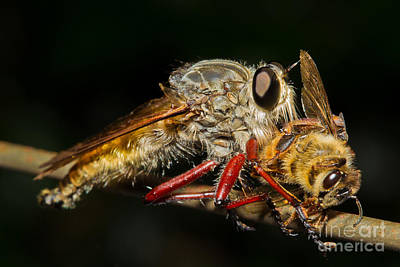Australian Bees Photograph - Robber Fly With Bee by B.G. Thomson