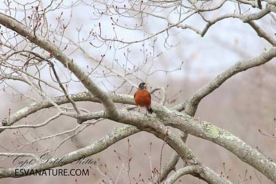 Photograph - Robin 0731 by Captain Debbie Ritter