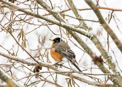 Photograph - Robin Alder Snow by Robert Potts