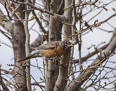 Photograph - American Robin  by Allen Sheffield