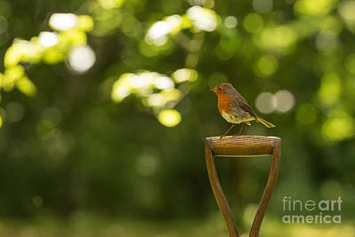 Red-breasted Robin Photograph - Robin by Amanda Elwell