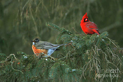 Photograph - Robin And Cardinal  6174 by Jack Schultz