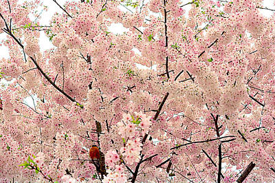 Photograph - Robin And Pink Blooming Glory by Kathy Barney