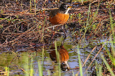 Photograph - Robin And Reflection by Dart and Suze Humeston