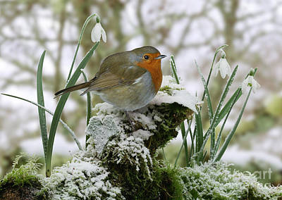 Photograph - Robin And Snowdrops by Warren Photographic