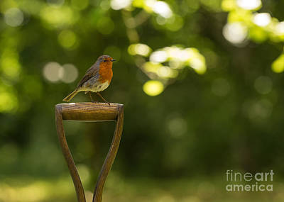 Red-breasted Robin Photograph - Robin Bird by Amanda Elwell