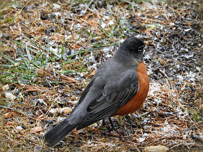 Photograph - Robin by Brenda Bostic