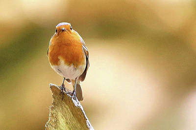 Photograph - Robin by David Bradley