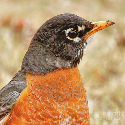 Art Print featuring the photograph Robin by Debbie Stahre