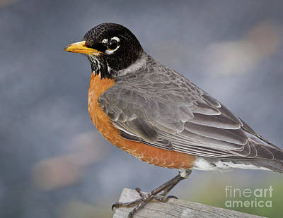 Art Print featuring the photograph Robin by Douglas Stucky
