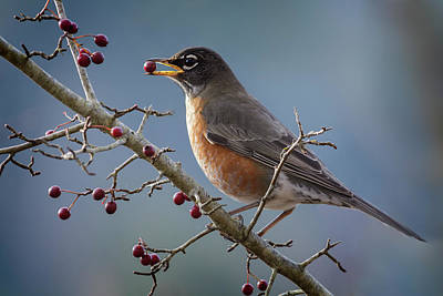 Photograph - Robin Eating Berries by Inge Riis McDonald