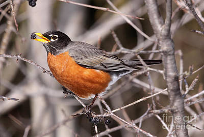 Robin Eating Art Print by Chris Hill