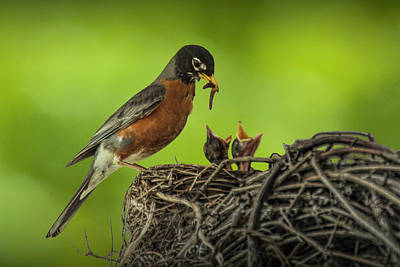 Photograph - Robin Feeding It's Young In A Nest by Randall Nyhof