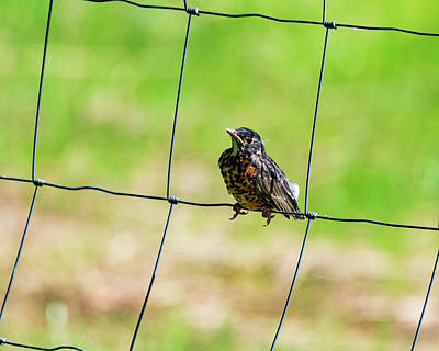 Photograph - Robin Fence by Joseph Caban