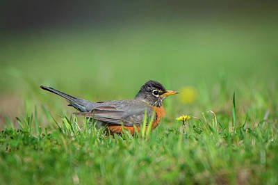 Photograph - Robin by Guy Whiteley