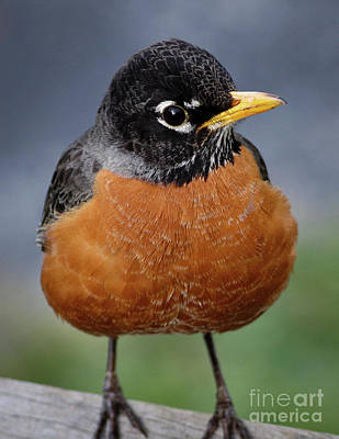 Photograph - Robin II by Douglas Stucky