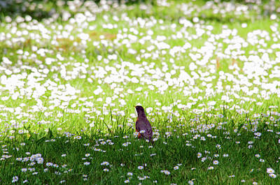 Photograph - Robin In A Field Of Daisies by Tikvah's Hope