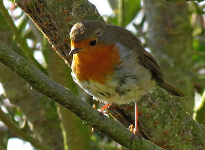 Photograph - Robin In A Tree by John Topman