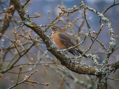Photograph - Robin In A Tree by Keith Boone