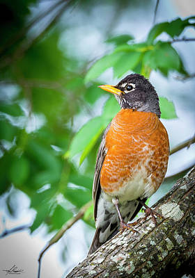 Photograph - Robin In A Tree by Phil Rispin