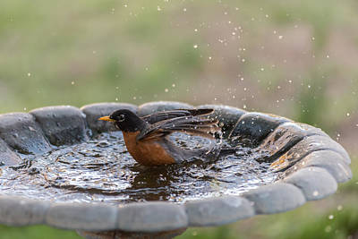 Photograph - Robin In Bird Bath New Jersey  by Terry DeLuco