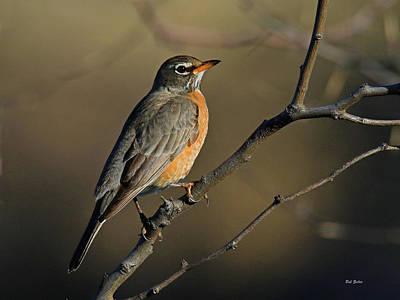 Photograph - Robin In Early Morning Light by Bob Zeller