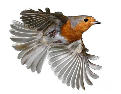 Photograph - Robin In Flight by Warren Photographic