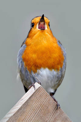 Photograph - Robin In Song by Gavin Macrae
