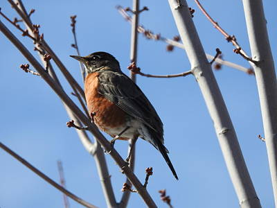 Photograph - Robin In Spring by Betty-Anne McDonald