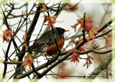 Photograph - Robin In Spring by Lydia Holly