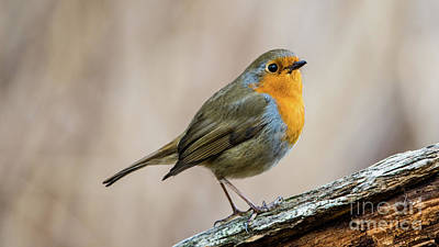 Photograph - Robin In Spring by Torbjorn Swenelius