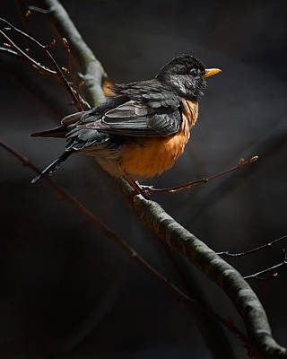 Robins Photograph - Robin In The Light by Bill Wakeley
