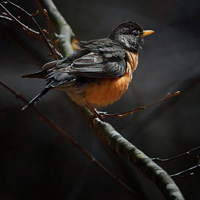 American Robin Photograph - Robin In The Light Square by Bill Wakeley