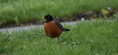 Photograph - Robin In The Yard 1 by Nina Kindred