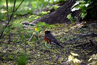 Photograph - Robin In The Yard 2 by Nina Kindred