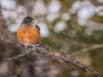 Photograph - Robin In Winter by Rikk Flohr